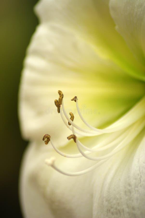 Amaryllis ou Pâques blanche Lily Flower photo libre de droits