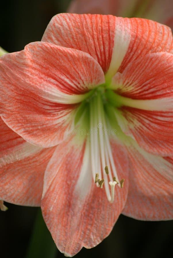 Amaryllis ou sucrerie Cane Easter Lily Flower photographie stock libre de droits