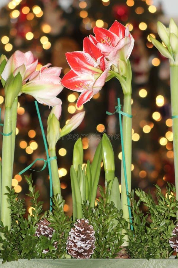 Amaryllis przy bożymi narodzeniami zdjęcie royalty free
