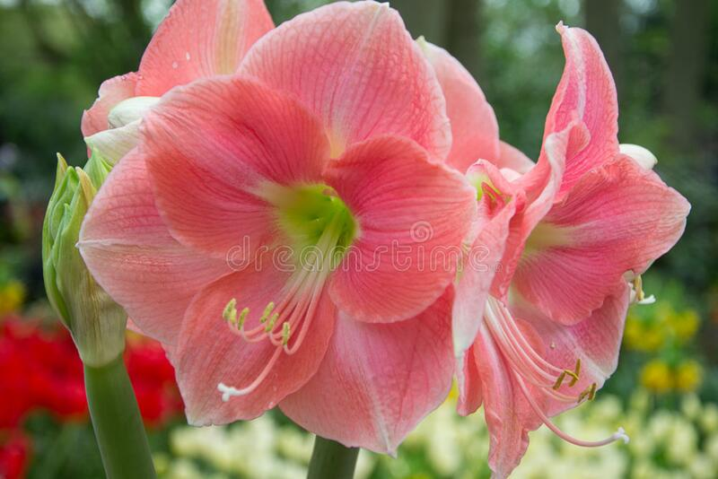 Amaryllis Rosalie stock photo