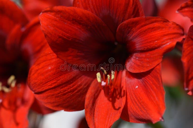 Amaryllis rossa immagini stock libere da diritti