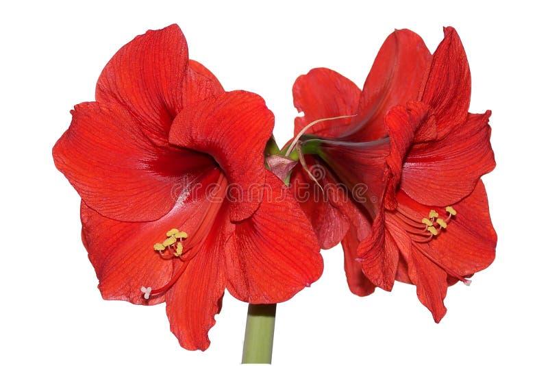 Amaryllis Rosso Immagini Stock Libere da Diritti