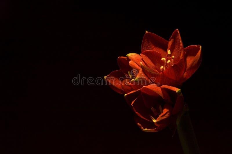 Amaryllis rouge image libre de droits