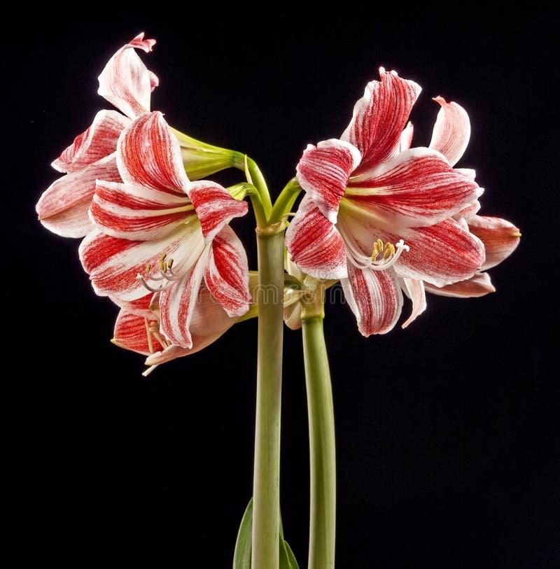 Amaryllis sul nero fotografie stock libere da diritti