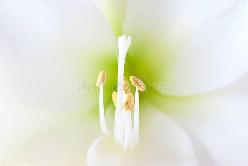 amaryllisblommawhite royaltyfri foto