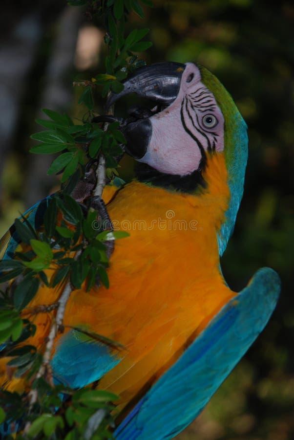 Amasonregn Forest Macaw arkivbild