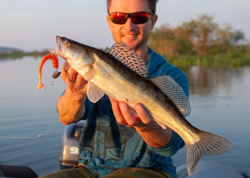 Amatuer angler holds fish. Zander in the hands during sunset on a river royalty free stock photography