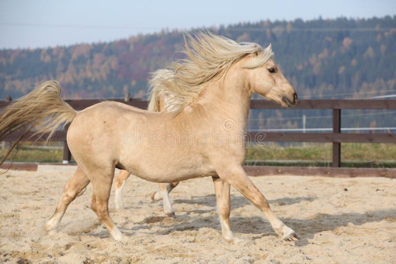 Amazaing palomino welsh pony of cob type running. In paddock stock images