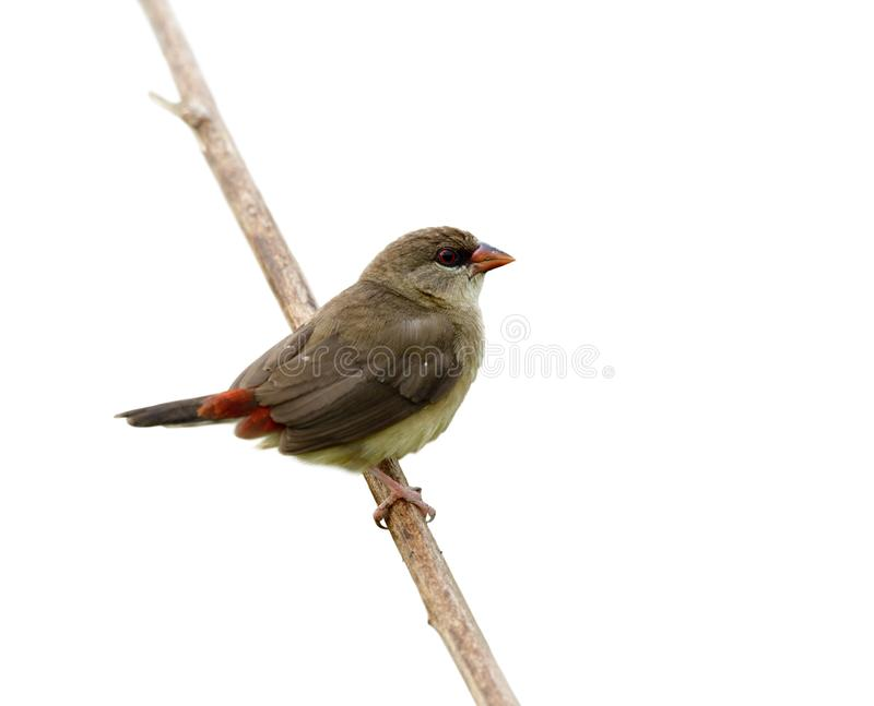 Amazed brown bird with sharp red eyes and tail perching on wooden stick, female of Red avadavat, red munia or strawberry finch. Amazed brown bird with sharp red stock photo
