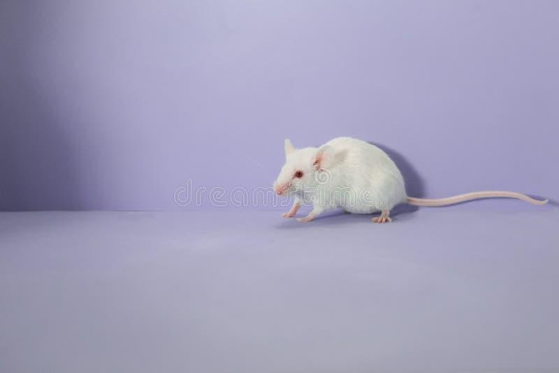 Amazed shy white mouse, purple background royalty free stock images