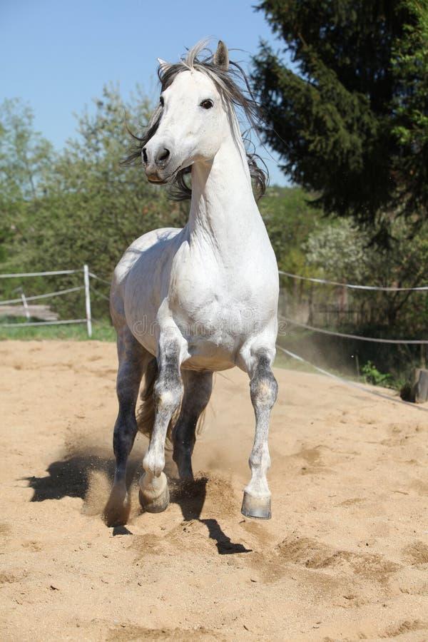 Amazign white andalusian stallion moving stock images