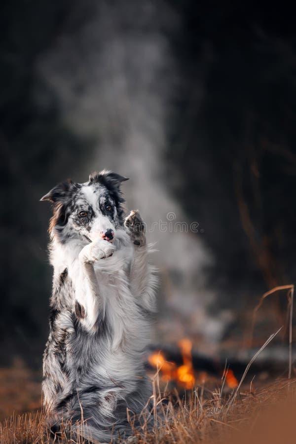 Amazin大理石坐由火的博德牧羊犬在背景烟的黎明作为兔宝宝 图库摄影