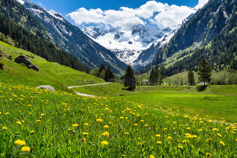 Amazing alpine spring summer landscape with green meadows flowers and snowy peak in the background. Austria, Tirol, Stillup valley.  royalty free stock photo