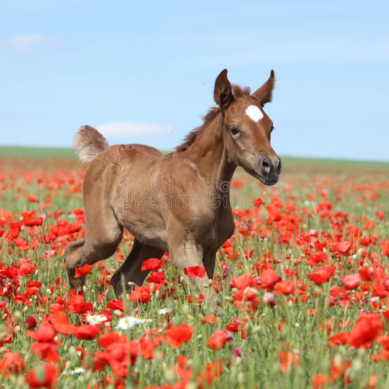 Amazing arabian foal running in red poppy field royalty free stock photography