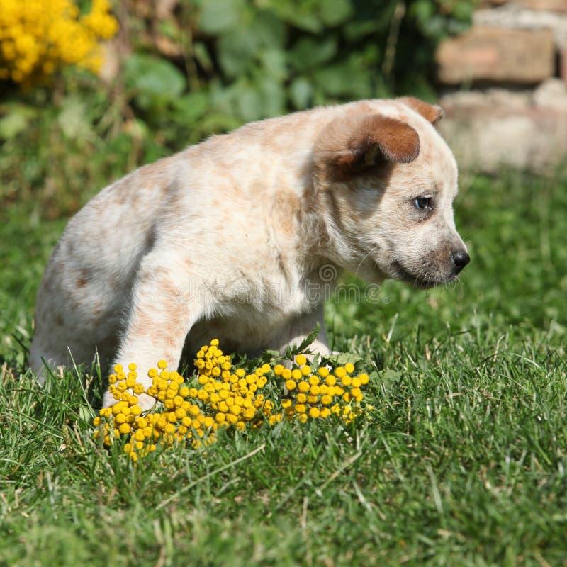 Amazing Australian Cattle Dog puppy royalty free stock photos