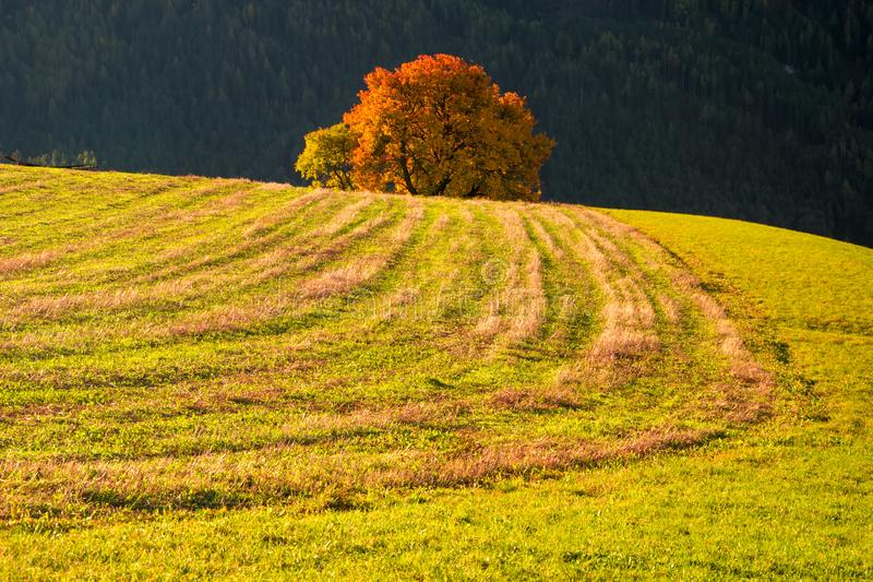 Amazing autumn rural landscape with lonely yellow tree on pasturage. In Dolomite Alps, Italy mountain pasture green beautiful highland nature travel farm abrupt stock image