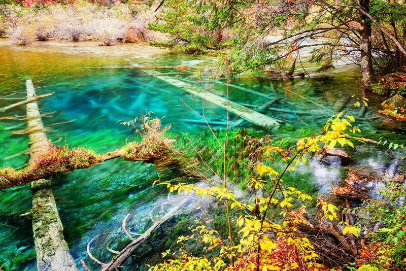 Amazing azure lake with submerged tree trunks in autumn forest. Beautiful landscape with crystal clear water of the pond among woods in Jiuzhaigou nature stock images