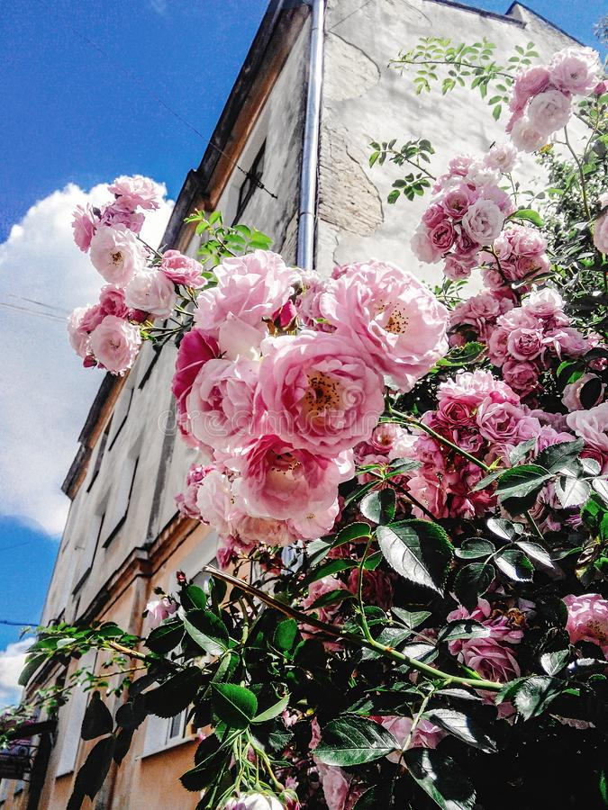 Amazing beautiful bush of fresh pink roses in spring time on the royalty free stock image