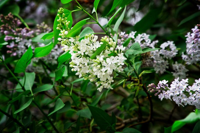 Amazing and beautiful hybrid bicolor lilac with white and purple flowers. Nature and its charm royalty free stock photo