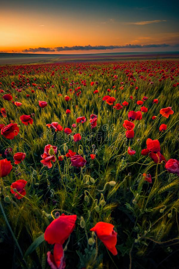 Amazing beautiful multitude of poppies growing in a field of wheat royalty free stock photography