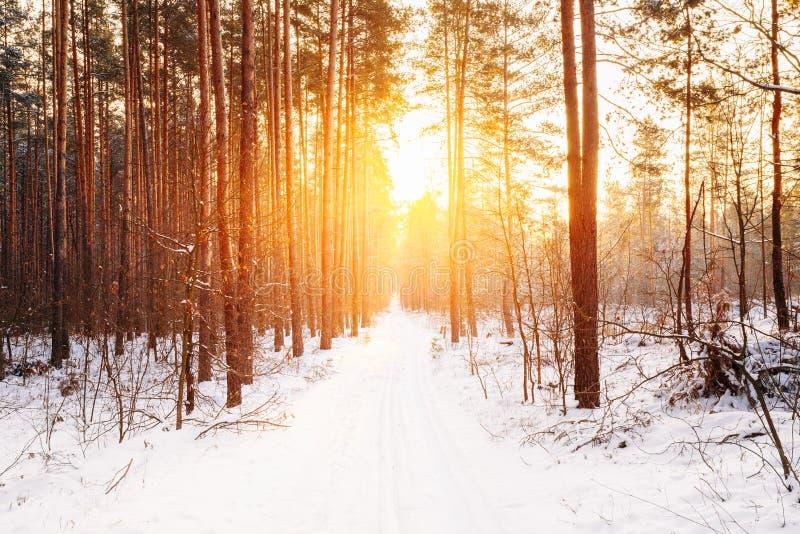 Amazing Beautiful sunset sunrise sun sunshine in sunny winter snowy. Coniferous forest stock image