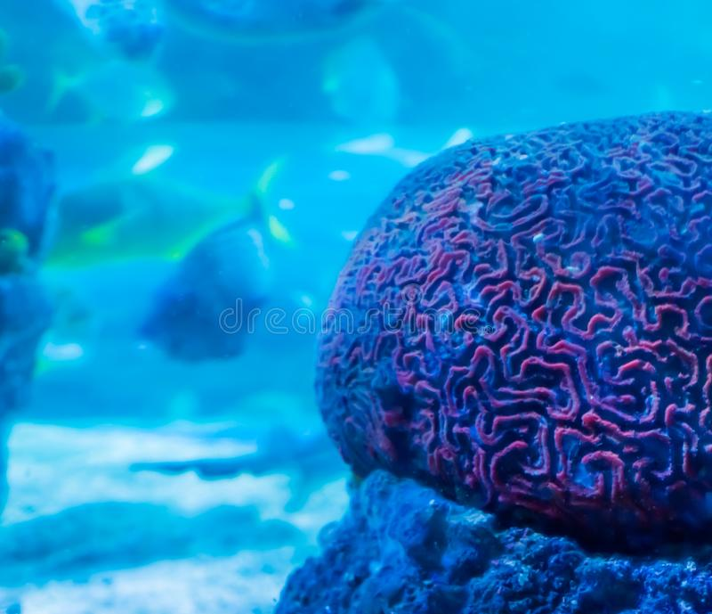Amazing beautiful underwater aquatic sea landscape background of a red brain coral in close up with swimming fish in the backgroun royalty free stock images