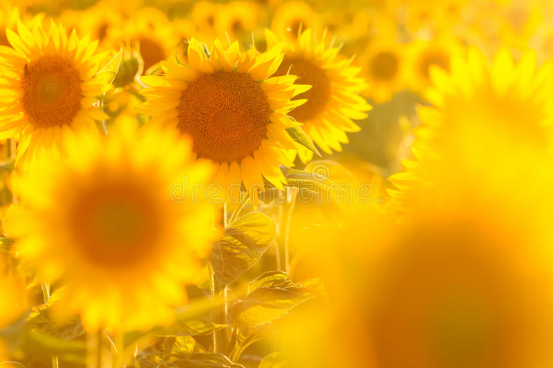 Amazing beauty of golden sunlight on sunflower petals. Beautiful view on field of sunflowers at sunset royalty free stock photos