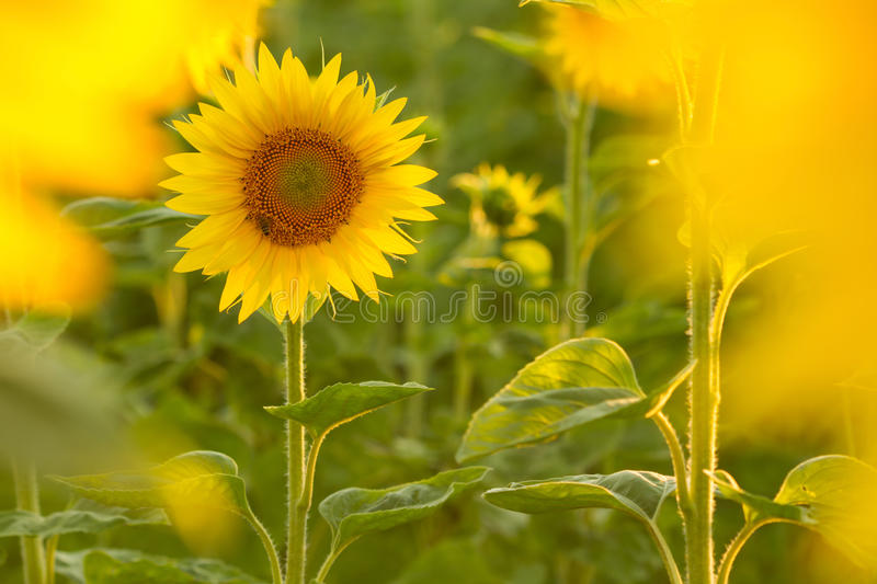 Amazing beauty of golden sunlight on sunflower petals. Beautiful view on field of sunflowers at sunset stock images