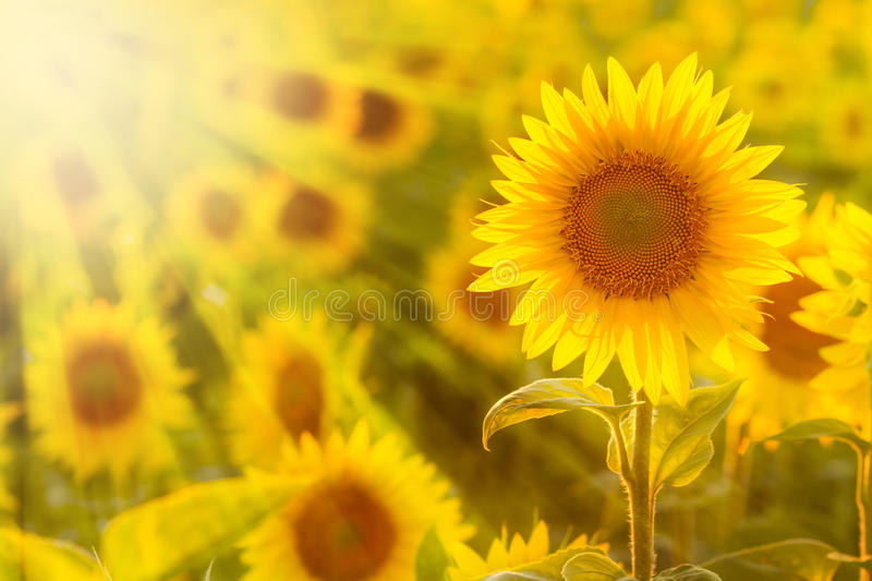 Amazing beauty of golden sunlight on sunflower petals. Beautiful view on field of sunflowers at sunset stock image