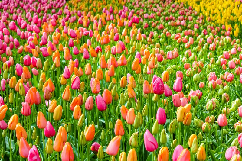 Amazing bed of flowers with fresh colorful tulips. Tulips are mainly orange and pink. Morning dew on the flowers. Beatiful nature stock photo