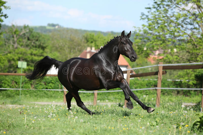 Amazing black dutch warmblood running royalty free stock photos