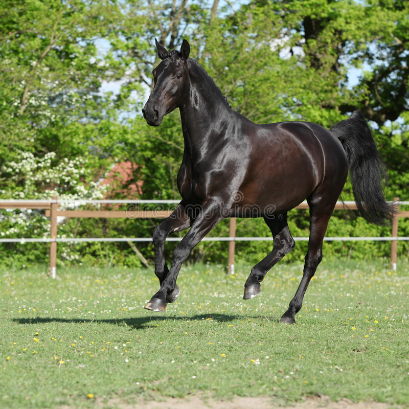 Amazing black dutch warmblood running stock image