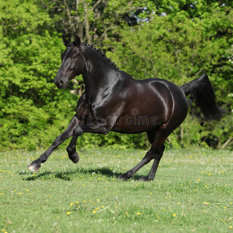 Amazing black dutch warmblood running stock photo