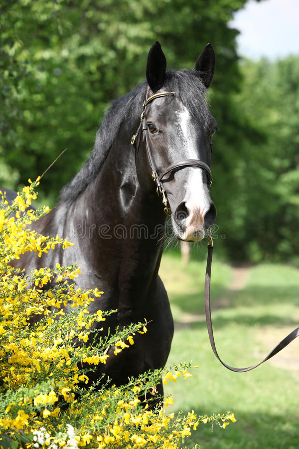 Amazing black welsh part-bred stallion with flowers royalty free stock photos