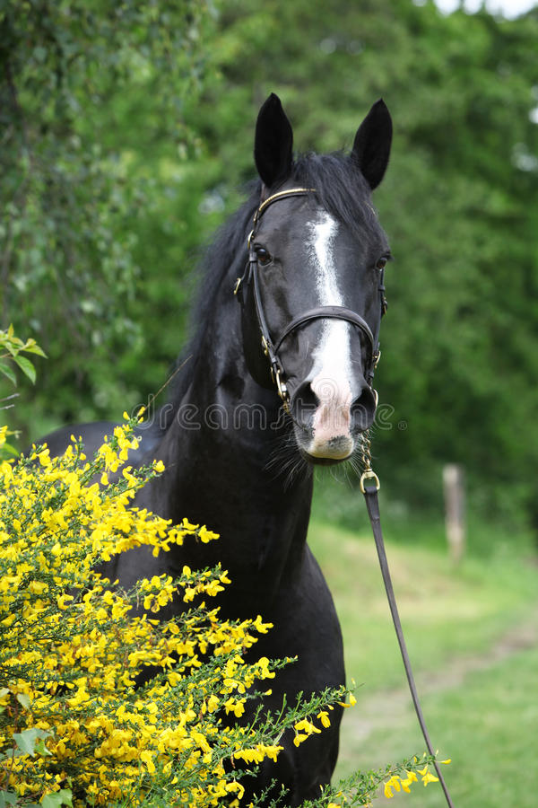 Amazing black welsh part-bred stallion with flowers royalty free stock photography