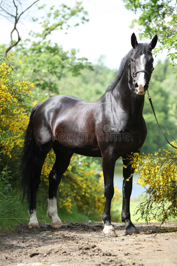 Amazing black welsh part-bred stallion with flowers stock photos