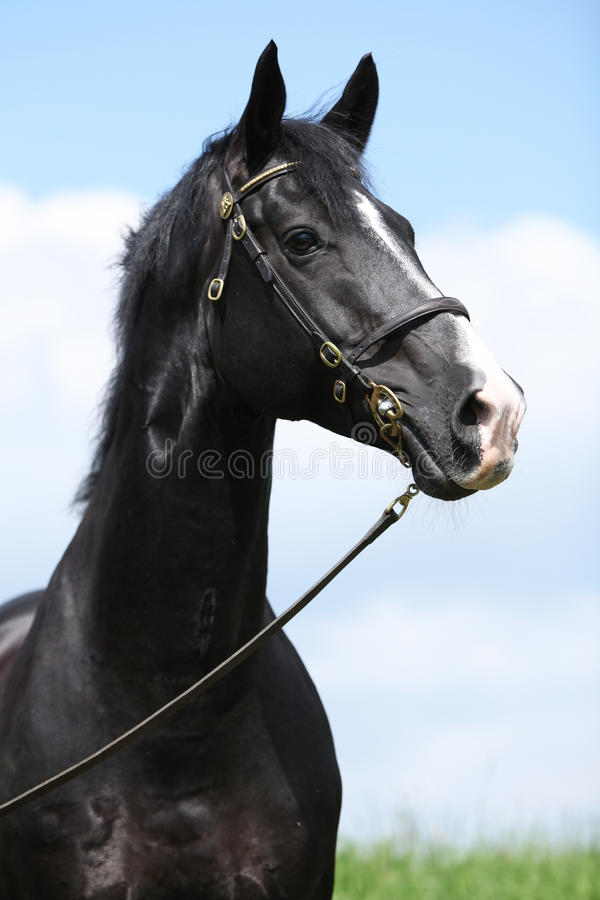 Amazing black welsh part-bred stallion royalty free stock photography