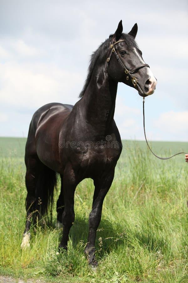 Amazing black welsh part-bred stallion stock image