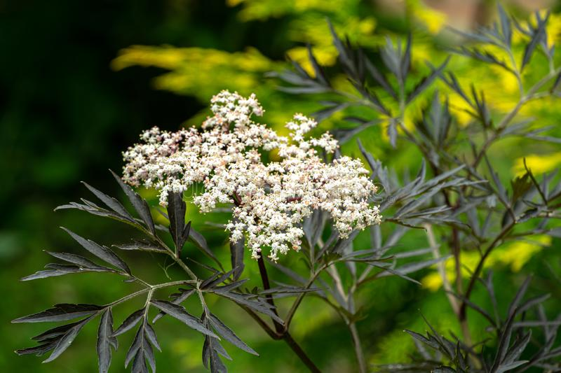 Amazing blossoming of black sambucus Black Lace. Macro of a delicate pink inflorescence on dark green background. Of garden. Selective focus. Nature concept for royalty free stock image