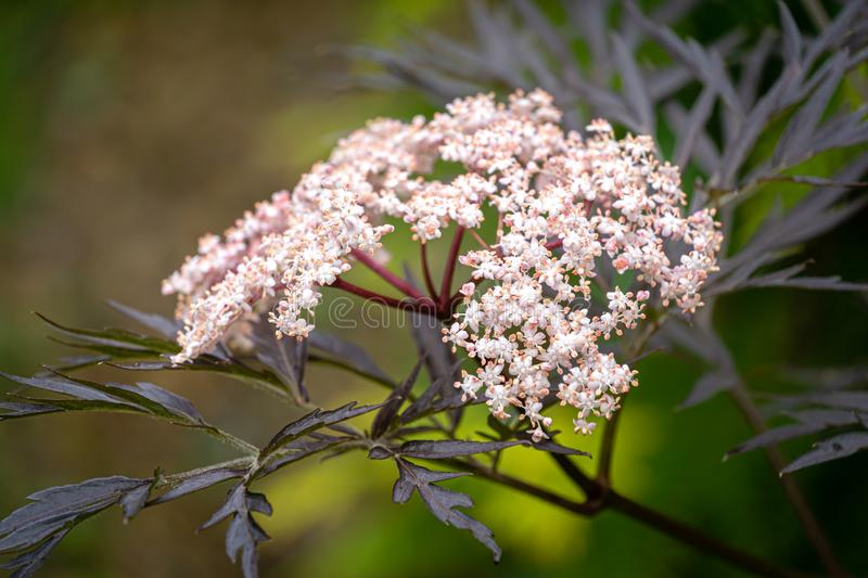 Amazing blossoming of black sambucus Black Lace. Soft macro of a delicate pink inflorescence on dark green background stock image