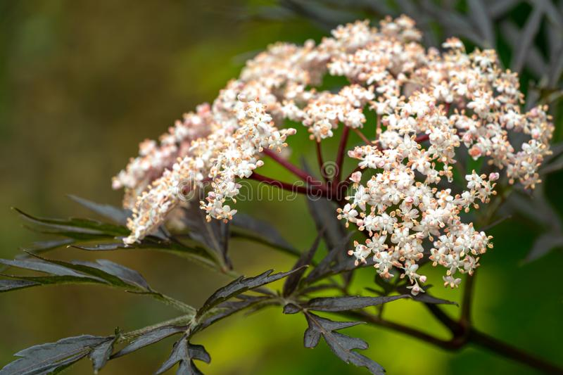 Amazing blossoming of black sambucus Black Lace. Soft macro of a delicate pink inflorescence on dark green background of garden. Selective focus. Nature stock photo