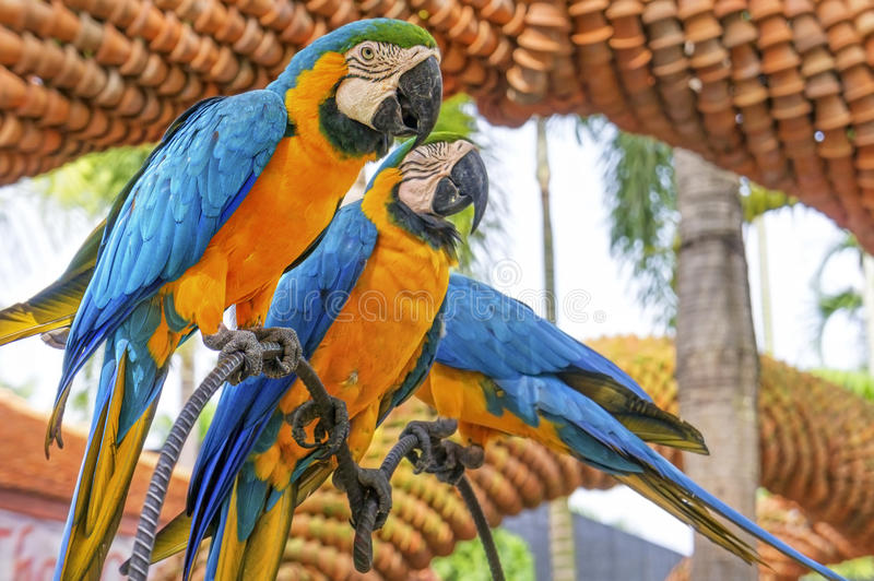 Amazing Blue and Yellow Macaw (Arara parrots) royalty free stock image