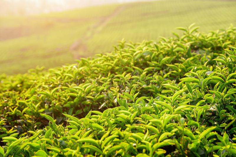Amazing bright green tea leaves at tea plantation at sunset royalty free stock photos