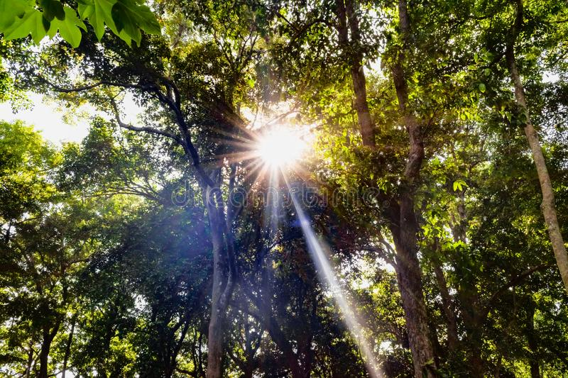 Amazing bright sunny day in reserved forest area, where bright sun rays are peeping through the leaves and branches of tall trees. Plants make use of this royalty free stock photos