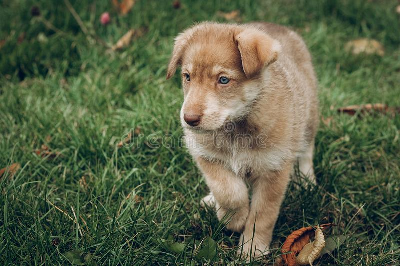Amazing brown puppy with amazing blue eyes on background of autumn park. space for text. faithful friend concept. fall wallpaper. Backdrop print stock photography