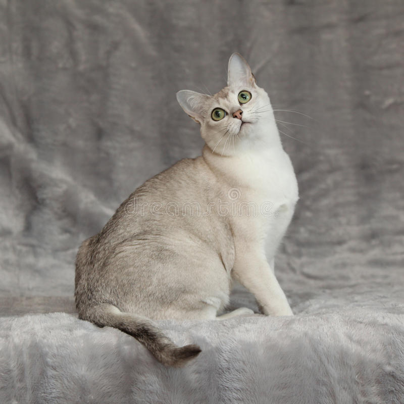 Amazing Burmilla in front of silver blanket stock photo