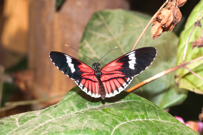 Red Cattle Heart Swallowtail Butterfly stock image