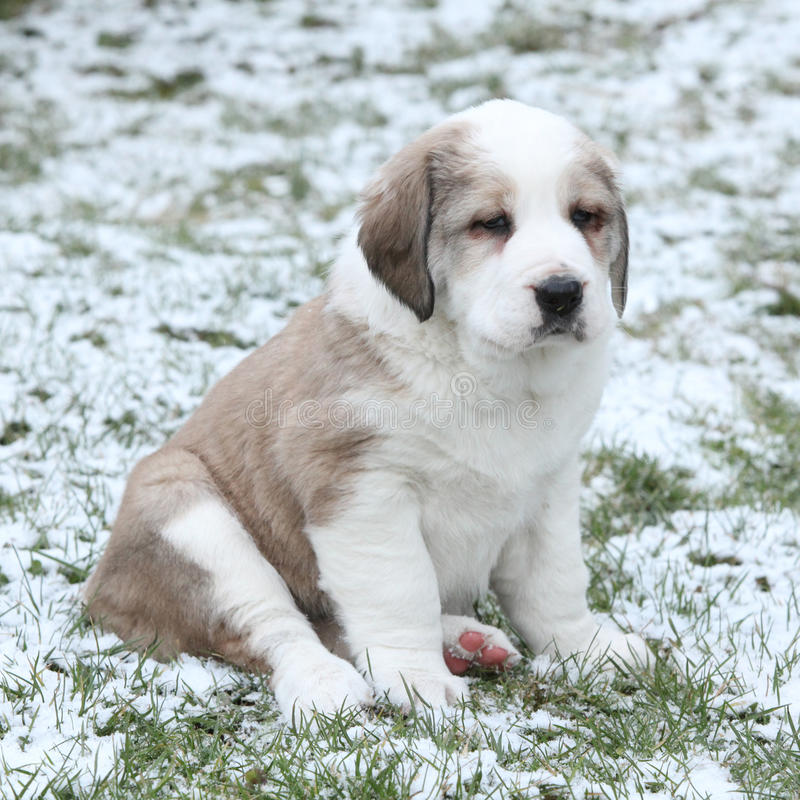 Amazing Central Asian Shepherd puppy in winter. Amazing Central Asian Shepherd puppy sitting on snow and grass in winter royalty free stock photos