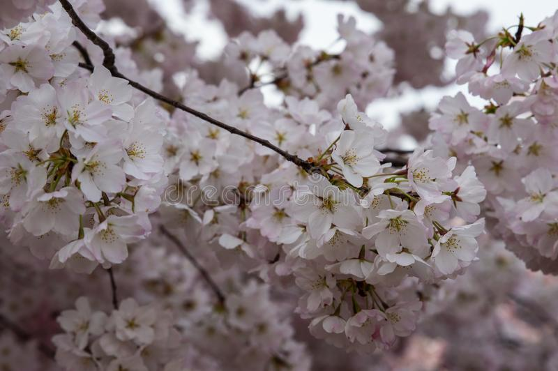 Amazing cherry blossoms with white to pale pink colors royalty free stock photography