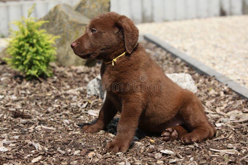 Amazing chesapeake bay retriever puppy royalty free stock photo